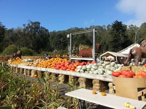 pumpkins at pumpkin farm