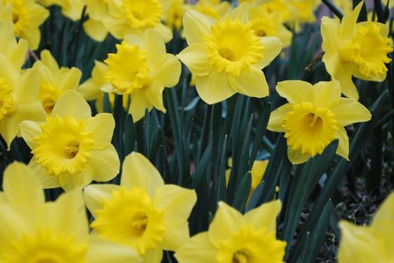 clutch of daffodils